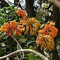 Bomarea sp. yellow, San Francisco Botanical Garden, Nhu Nguyen