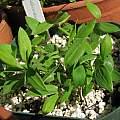 Bomarea sp. seedlings, Nhu Nguyen