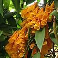 Bomarea sp. yellow, San Francisco Botanical Garden, Uluwehi Knecht