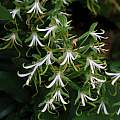 Bonatea speciosa, Kirstenbosch, Mary Sue Ittner