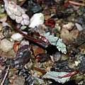 Bongardia chrysogonum, Paige Woodward