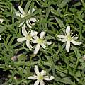 Bowiea volubilis ssp. gariepensis, Dylan Hannon
