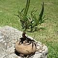 Brachystelma cathcartense plant, Cameron McMaster