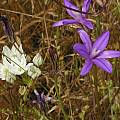 Triteleia hyacinthina with Brodiaea californica, Merced, Mary Sue Ittner