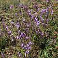 Brodiaea californica, Tilden Botanic Garden, Nhu Nguyen