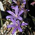 Brodiaea coronaria, Nhu Nguyen [Shift+click to enlarge, Click to go to wiki entry]