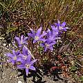 Brodiaea elegans, Tin Barn Road, Bob Rutemoeller [Shift+click to enlarge, Click to go to wiki entry]