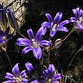 Brodiaea elegans, Bob Rutemoeller [Shift+click to enlarge, Click to go to wiki entry]