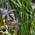 Brodiaea minor, Mary Sue Ittner [Shift+click to enlarge, Click to go to wiki entry]