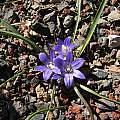 Brodiaea terrestris, Tilden Botanic Garden, Nhu Nguyen