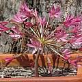 Brunsvigia bosmaniae, Nhu Nguyen