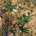 Brunsvigia bosmaniae, Mary Sue Ittner