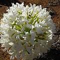 Brunsvigia bosmaniae, Nieuwoudtville, Rachel Saunders