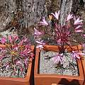 Brunsvigia bosmaniae and Brunsvigia herrei, Nhu Nguyen
