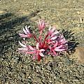 Brunsvigia comptonii flowers, Cameron McMaster
