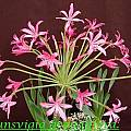 Brunsvigia grandiflora, Bill Dijk