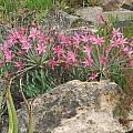 Brunsvigia grandiflora, Nhu Nguyen