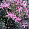 Brunsvigia grandiflora, UC Botanical Garden