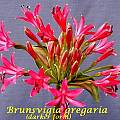 Brunsvigia gregaria, Bill Dijk