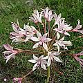 Brunsvigia gregaria, Cameron McMaster
