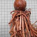 Brunsvigia gregaria bulb, Mary Sue Ittner