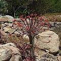 Brunsvigia josephinae, Nhu Nguyen