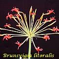 Brunsvigia litoralis, Bill Dijk