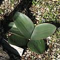 Brunsvigia marginata, Nhu Nguyen