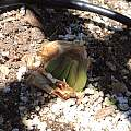 Brunsvigia marginata bud September 3, Michael Mace