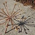 Brunsvigia marginata infructescence, Michael Mace
