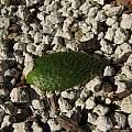 Brunsvigia namaquana, Nhu Nguyen