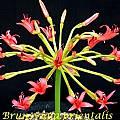 Brunsvigia orientalis, Bill Dijk
