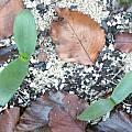 Brunsvigia gariepensis, Uluwehi Knecht