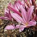Brunsvigia sp. Namibia, UCBG, Nhu Nguyen
