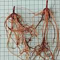 Bulbine bulbosa rootsock, Mary Sue Ittner