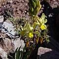 Bulbine longifolia, Jan and Anne Lise Schutte-Vlok