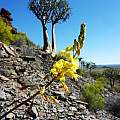 Bulbine succulenta, Nieuwoudtville, Cameron McMaster [Shift+click to enlarge, Click to go to wiki entry]