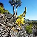 Bulbine succulenta, Nieuwoudtville, Cameron McMaster