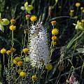 Bulbinella cauda-felis, Mary Sue Ittner