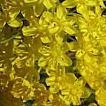 Bulbinella floribunda, Nhu Nguyen