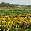 Bulbinella latifolia in Namaqualand, Mary Sue Ittner