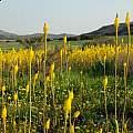 Bulbinella latifolia ssp. latifolia, Kamiesberg, Mary Sue Ittner