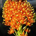 Bulbinella latifolia ssp. doleritica closeup, Max Withers