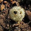 Bulbinella sp., Little Karoo, Bob Rutemoeller