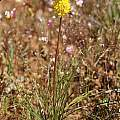 Bulbinella triquetra, Andrew Harvie