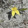 Caladenia flava, Albany, Bob Rutemoeller