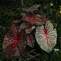 Caladium 'Florida Sunrise', Jay Yourch