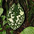 Caladium sp. Colombia, Dylan Hannon