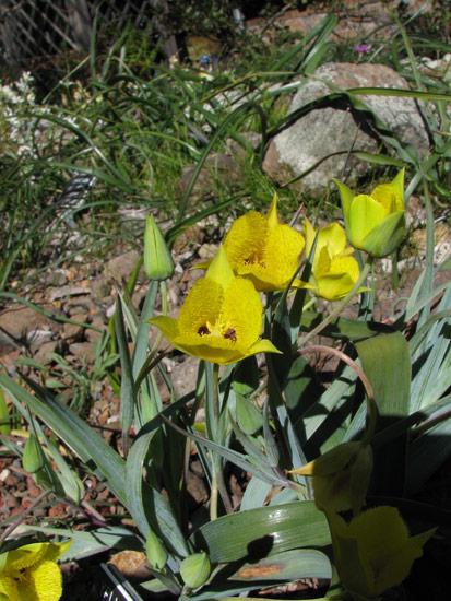 ... Calochortus Monophyllus, Tilden Botanic Garden, Nhu Nguyen