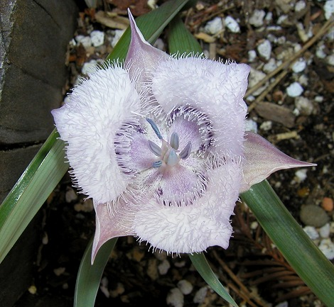 http://www.pacificbulbsociety.org/pbswiki/files/Calochortus/Calochortus_tolmiei_msi2.jpg